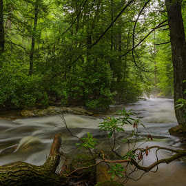 Linn Run by Clare Kaczmarek - Landscapes Forests ( forests, linn run, rhododendron, appalachia, summer, streams, laurel highlands )
