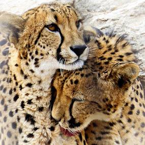 Cheetahs by Nancy Young - Animals Lions, Tigers & Big Cats ( paris, cheetah, animals, friends, rock,  )