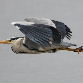 Heron by Sam Gosnay - Animals Birds ( nature, duck, bird, tall, ardeidae, heron, long, wildlife )