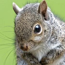 Squirrel 9431 by Raphael RaCcoon - Animals Other Mammals