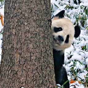 Peek-A-Boo by Kimberly Sharp - Animals Other Mammals ( panda, peek-a-boo, black and white, snow, endangered, giant panda,  )