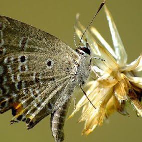 Butterfly by Zlatan Dawamovic - Animals Insects & Spiders