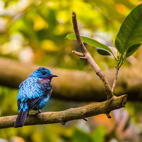 Blue Bird by Antonin de Bertimbrie - Animals Birds ( bird, leave, blue, colors, branch, small )