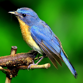 tickles blue flycatcher by Manoj Kulkarni - Animals Birds ( dwarf, bird, oriental, nature, kingfisher, indian, wildlife, forest, chiplun )