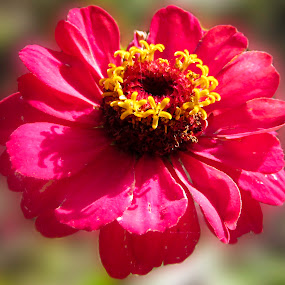 Zinnia by Aamir Soomro - Nature Up Close Flowers - 2011-2013 ( pakistan, murree, red, yellow, flower,  )