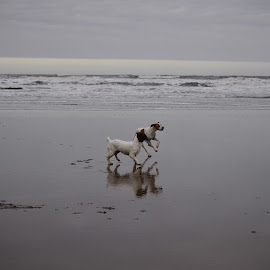 by Eloise Rawling - Animals - Dogs Running ( dogs, sea, beach )