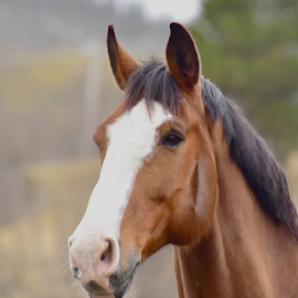 by Kristin Smestad - Animals Horses ( equine, horse, hest, brown, head,  )