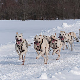 # 4_29-01-2017 illimite by Claude Hudon - Sports & Fitness Snow Sports ( sled dogs, winter, dog race, snow, dog, race, outside )