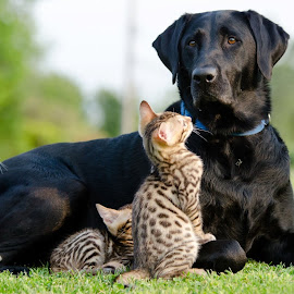 Babysitting! by Rob Ebersole - Animals - Dogs Playing ( labrador retriever, kittens )