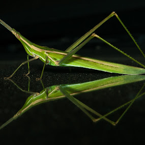 Hitchhiker by Adam Visscher - Animals Insects & Spiders ( insect reflection )