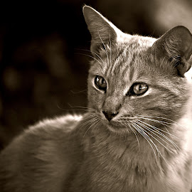 Daddy Tomcat by Pieter J de Villiers - Black & White Animals