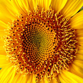 Sunflower by SANGEETA MENA  - Flowers Flowers in the Wild