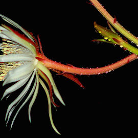Have a nice night from me  by Sultan Firaun - Flowers Single Flower ( pakawali )