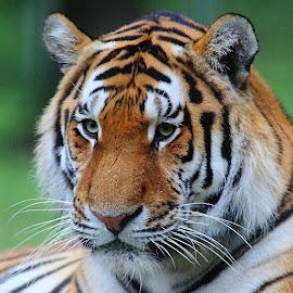 A quoi rêves-tu ? by Gérard CHATENET - Animals Lions, Tigers & Big Cats