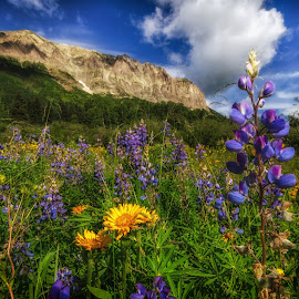 Wildflowers at Gothc Mountain by Ed Fiske - Landscapes Mountains & Hills ( colorful, crested butte, wildflower, colorado, flowers, gothic mountain, wild flowers )