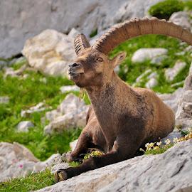 Stone kingdom by Blaž Ocvirk - Animals Other Mammals ( old, julian alpa, slovenia, capricorn )