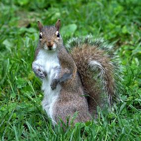 Sitting Pretty by Anita Frazer - Animals Other Mammals ( eastern gray, sitting up, squirrel, mammal,  )