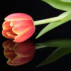Orange Tulip by Simon Hall - Flowers Single Flower (  )