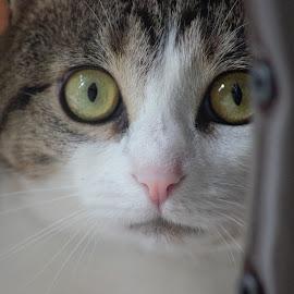 Those Eyes by Lisa Newberry - Animals - Cats Portraits ( cat, feline, portrait, animal, eyes )