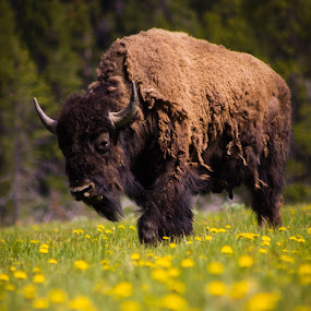 Sleepy by Timothy Horng - Animals Other Mammals ( babies, buffalo, rainy, park, windy, bison, national, calf, play, run, dandelions, two, yellowstone, meadow, baby, flowers, walk )