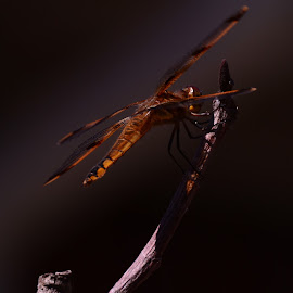 relaxing dragon fly by Phillip Triantos Triantafillou - Animals Insects & Spiders ( dragonfly )