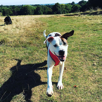 American Bulldog walker | Ditton dog walker | Ditton dog walking