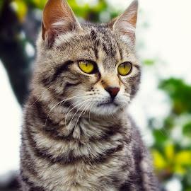 Peter by Boris Romac - Animals - Cats Portraits ( k3, da, cat, croatia, pentax, coguar, ricoh )