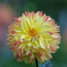 Dahlia 9474 by Raphael RaCcoon - Flowers Single Flower ( dahlia )
