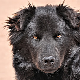 Ebony by Trudy Mader - Animals - Dogs Portraits