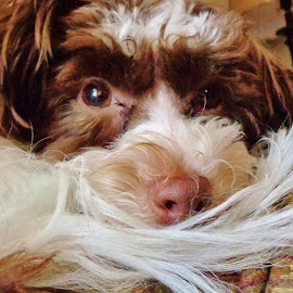 Relaxing Winston by Grace Lintz - Animals - Dogs Portraits ( winston, tired, puppy, cute, relaxing )