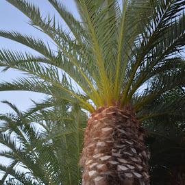 Palms by Victoria Eversole - City,  Street & Park  Neighborhoods ( california, sunset, palm trees )