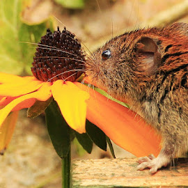 by Tony Walker - Animals Other Mammals ( smell, whiskers, ears, yellow, rodent, taste, flower )