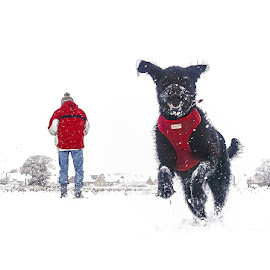 Let it Snow by Katherine Rynor - Animals - Dogs Running ( snow, dog, running )
