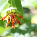 Western Trumpet Honeysuckle(Orange)