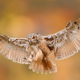 Great Horned Owl in flight by Stefano Ronchi - Animals Birds