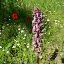 Giant orchid (Ιμαντόγλωσσο του Ρόμπερτ)