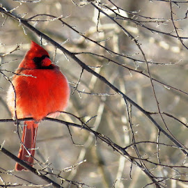 Cardinal by Erika  Kiley - Novices Only Wildlife ( bird, cardinal, winter, red, tree )