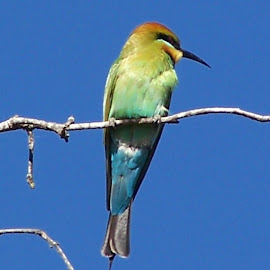 Rainbow Bee Eater by Sarah Harding - Novices Only Wildlife ( bird, nature, outdoors, novices only, wildlife )