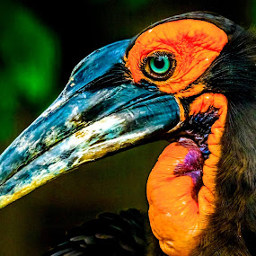 Southern Grounded  Hornbill by Ken Nicol - Animals Birds (  )