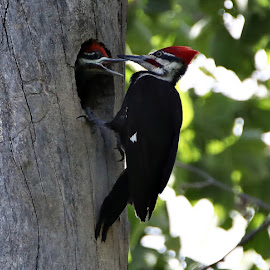 Pileated Woodpecker by Elizabeth Winter - Animals Birds ( bird, babies, nature, woodpeckers, wildlife )