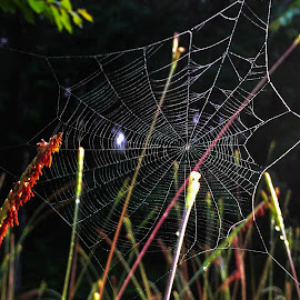 Spider Web 1 by Dee Haun - Nature Up Close Webs ( spider web, high contrast, 180613t2648c1e1, nature up close, webs,  )