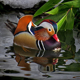 mandarinski patak by Dunja Kolar - Animals Birds ( maksimir, mandarinski patak, croatia, zagreb )