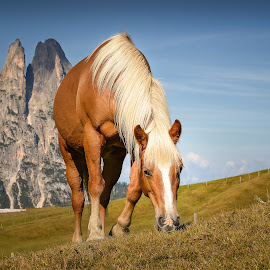 The 'Schlern'-Horse by Franz Engels - Animals Horses ( animals, indian summer, horses, autumn, schlern, beautiful, summer, seiser alm, landscape )