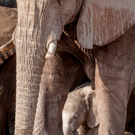 Baby Elephant in Group by Jacques Jacobsz - Animals Other Mammals ( herbivore, etosha, african, elephant, trumpet, wildlife, aware, travel, circle, cute, landscape, protect, protecting, related, love, cautious, help, concerned, nature, conservation, grabbing, family, alpha, care, below, namibiaelephant-trunk, africa, beneath, dry, national park, trunk, sweet, mother, female, savanna, touching, southern africa, group )