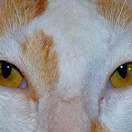 eyes by Adjie Tjokrosoedarmo - Animals - Cats Portraits