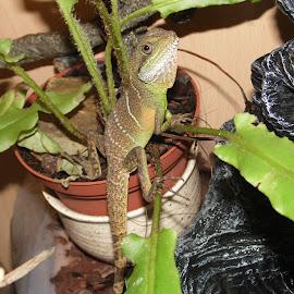 Banji by Angie Keverne - Animals Amphibians ( lizard, pet, amphibian, chinese, water dragon )