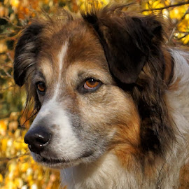 Sage - English Shepherd - 4106 by Twin Wranglers Baker - Animals - Dogs Portraits