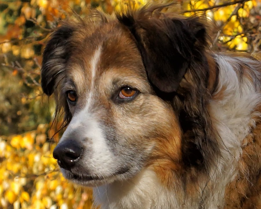 Sage - English Shepherd - 4106 by Twin Wranglers Baker - Animals - Dogs Portraits (  )