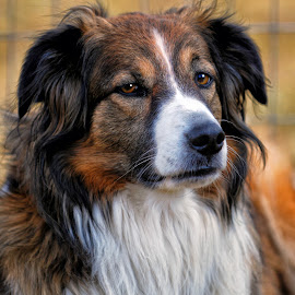 English Shepherd Portrait - 1012 by Twin Wranglers Baker - Animals - Dogs Portraits (  )