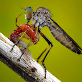 Robberfly with prey by Tan Tc - Animals Insects & Spiders ( nature, macro photography, insects, close up, robberfly )